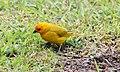 Saffron Finch (Sicalis flaveola) (26191645090).jpg