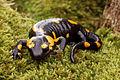 Salamandra plamista po skalowaniu.jpg