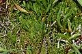 Salicornia ramosissima fg01.jpg