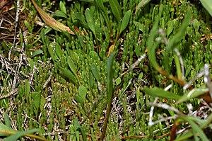 Pedro Muñoz - Salicornia, (Salicornia ramosissima)