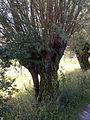 Salix alba pollards3.JPG
