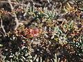Salsola divaricata 04.JPG