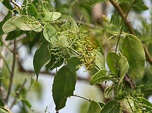 Salvadora persica - Image: Salvadora persica (Peelu) W IMG 6940