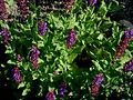 Salvia-nemorosa.JPG