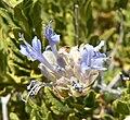 Salvia mohavensis 3.jpg