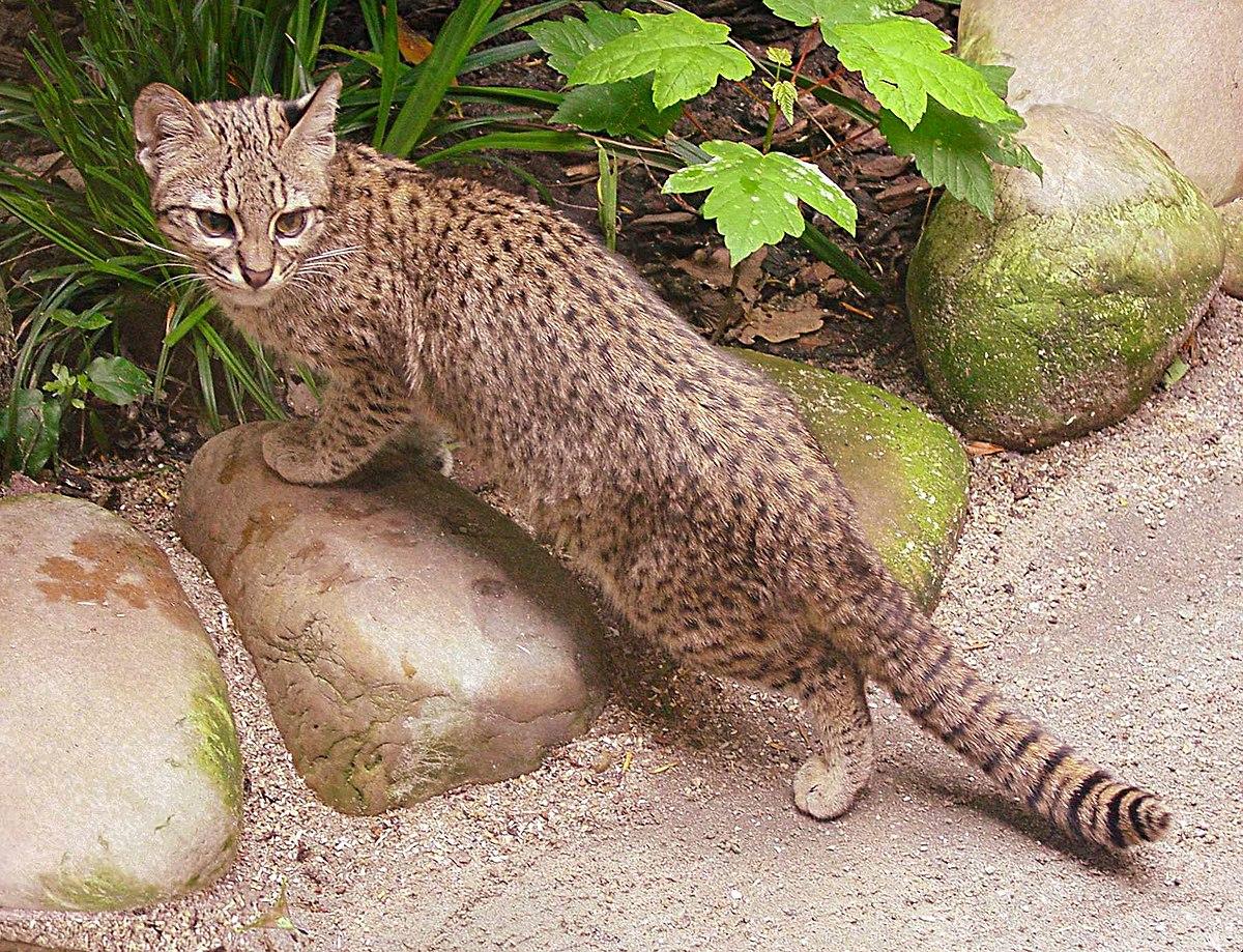 geoffroy u0027s cat wikipedia