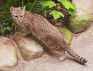 Geoffroy's cat - Image: Salzkatze