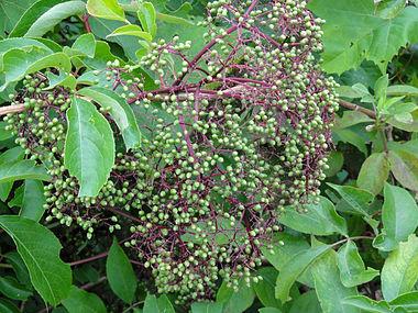 Sambucus nigra ssp canadensis SCA-04389.jpg