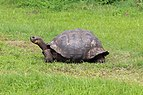 Santa Cruz giant tortoise 02.jpg