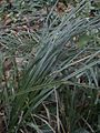 Santa barbara sedge 2.JPG