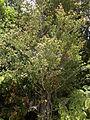 Saxegothaea conspicua Oncol 1.jpg