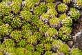 Saxifraga bryoides2 MZ.jpg