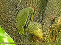 Scaly-bellied Woodpecker (Picus squamatus) (23482859259).jpg