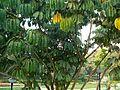 Schefflera actinophylla (367858980).jpg