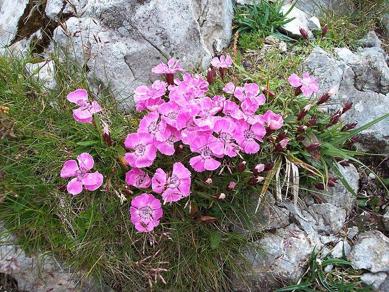 File:Schneeberg - flower.jpg