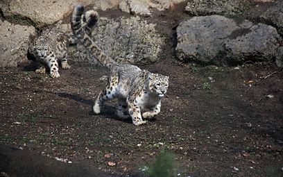 Schneeleoparden (Panthera uncia) Zoo Salzburg 2014 g.jpg