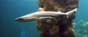 Schwarzspitzen-Riffhai (Carcharhinus melanopterus)