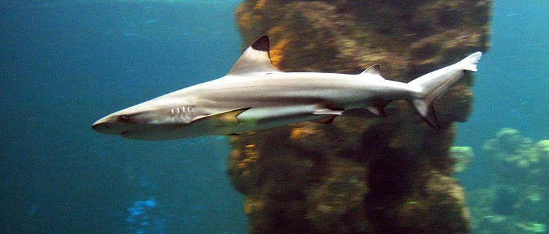 http://upload.wikimedia.org/wikipedia/commons/thumb/d/d9/Schwarzspitzen-Riffhai_%28Carcharhinus_melanopterus%29.jpg/800px-Schwarzspitzen-Riffhai_%28Carcharhinus_melanopterus%29.jpg