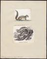 Sciurus palmarum - 1700-1880 - Print - Iconographia Zoologica - Special Collections University of Amsterdam - UBA01 IZ20400073.tif