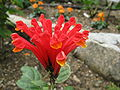 Scutellaria costaricana2.jpg
