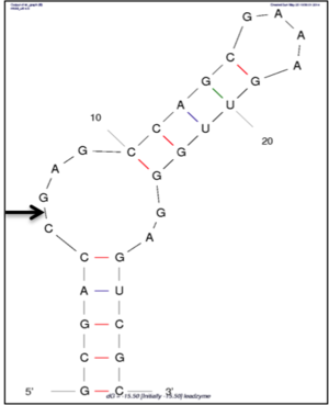 Leadzyme - Secondary structure of a leadzyme sequence obtained using mfold. It consists of an asymmetric internal loop made up of six nucleotides.The arrow indicates the cleavage site.