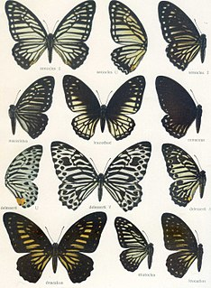 <i>Graphium stratocles</i> species of insect