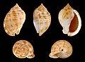 Semicassis granulata granulata 01.JPG