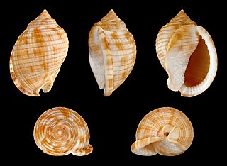 Scotch bonnet (sea snail) Species of mollusc