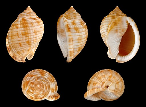 Scotch Bonnet seashell shown from all angles.