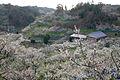 Senri-Bairin Minabe Wakayama09n1650.jpg