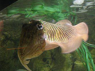 Cuttlebone - Common cuttlefish Sepia officinalis