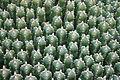 Ses Salines - Botanicactus - Euphorbia resinifera 05 ies.jpg