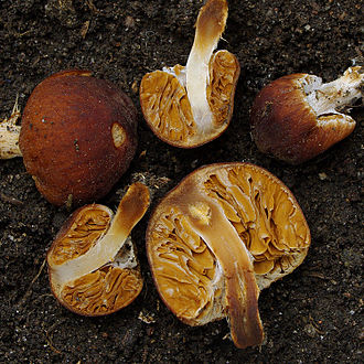 Agaricales - Setchelliogaster is a genus of gasteroid fungi in the Agaricales that is incertae sedis with respect to familial placement.