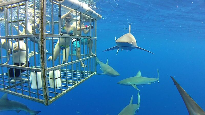 Facing one of the deepest fears: encounter with sharks underwater, protected by a shark-proof cage