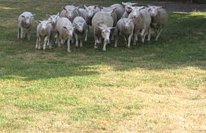 [Obrazek: 300px-Sheep-rush.JPG]