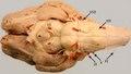 Sheep encephalon1113.pdf