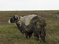 Sheep rescued from bog - geograph.org.uk - 216592.jpg