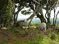 Sheep with an Exmoor backdrop - geograph.org.uk - 727507.jpg