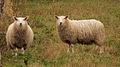 Sheeps Finland.jpg