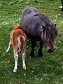 Shetland Ponies 2.jpg