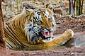 Shivaji of Tadoba (14474978580).jpg