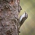 Short-toed treecreeper (49349923707).jpg