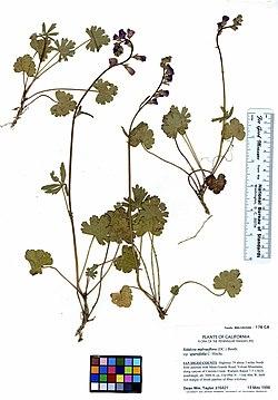 Sidalcea malvaeflora ssp. sparsifolia (5987761631).jpg