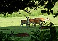 Sika deer next to Arne Road - geograph.org.uk - 852004.jpg