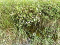 Silene.vulgaris.1567.jpg