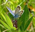 Silver-studded Blue. Male. Plebejus argus. u.s (16037335977).jpg