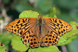 Silver-washed fritillary - Male New Forest, Hampshire
