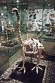 Skeleton of heavy footed moa, Otago Museum, 2016-01-29.jpg