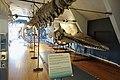 Slottsfjellsmuseet Museum Hvalhallen (Whale Hall) Tønsberg, Norway. Hvalskjeletter (Old skeletons) Blåhval (Blue whale 27m Iceland 1900 ) Spermasetthval (Sperm whale 1896) etc 2020-01-21 2268.jpg