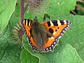 Small Tortoiseshell Butterfly on Burdock, near Wilstone Reservoir - geograph.org.uk - 1440361.jpg